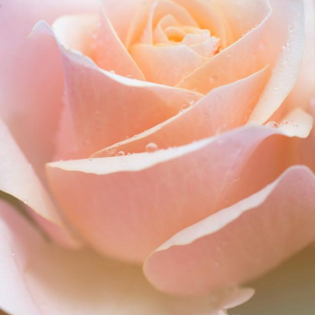 """Creamy dreamy pink rose macro"" stock image"
