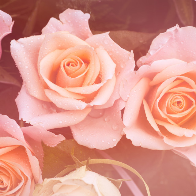 """""""Creamy dreamy pink roses bouquet"""" stock image"""