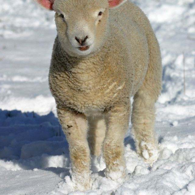 """Baby Lamb in the Snow"" stock image"