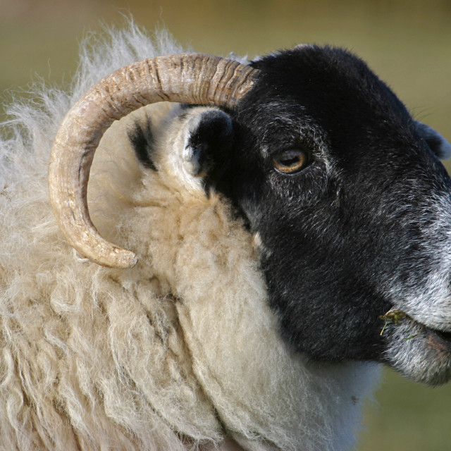 """Black-faced Sheep Closeup"" stock image"