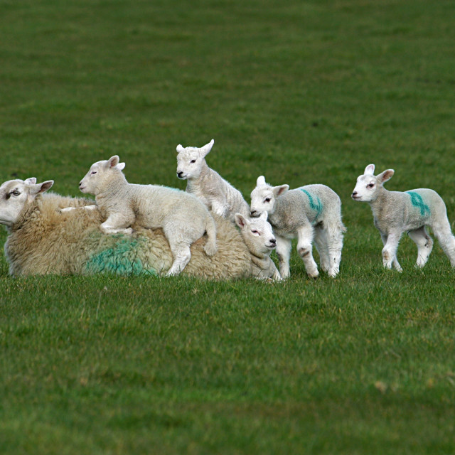 """Ewe and Lambs"" stock image"