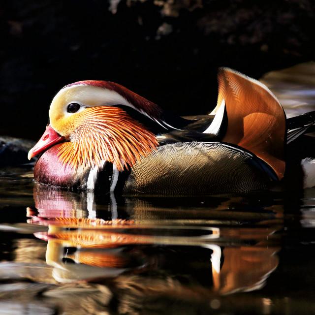 """Male Mandarin Duck"" stock image"