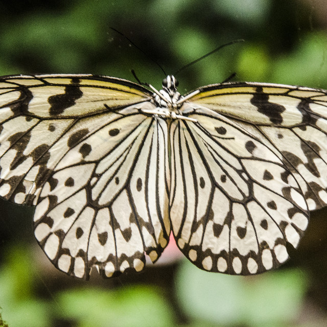 """""""Tree Nymph Butterfly"""" stock image"""