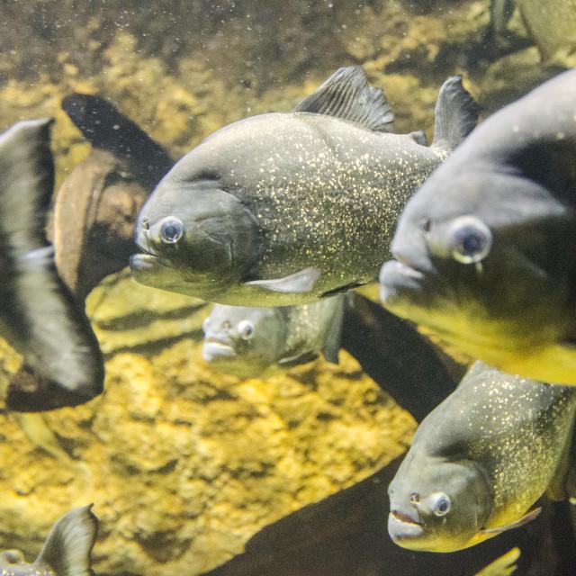 """""""Piranhas"""" stock image"""