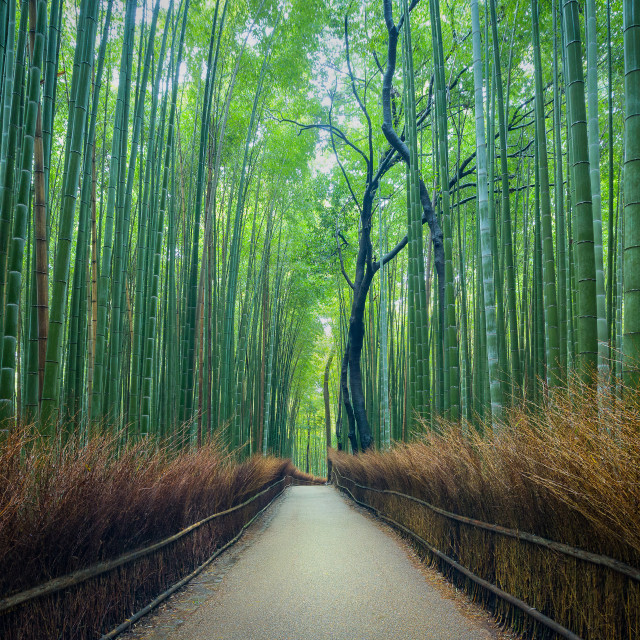 """A peaceful morning at the Arashiyama Bamboo Grove in Kyoto"" stock image"