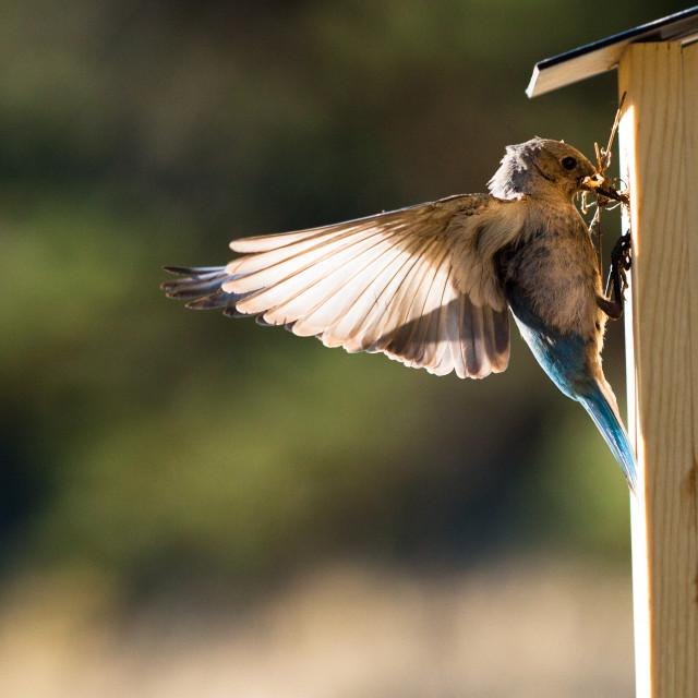 """Bluebird male brings nesting material"" stock image"