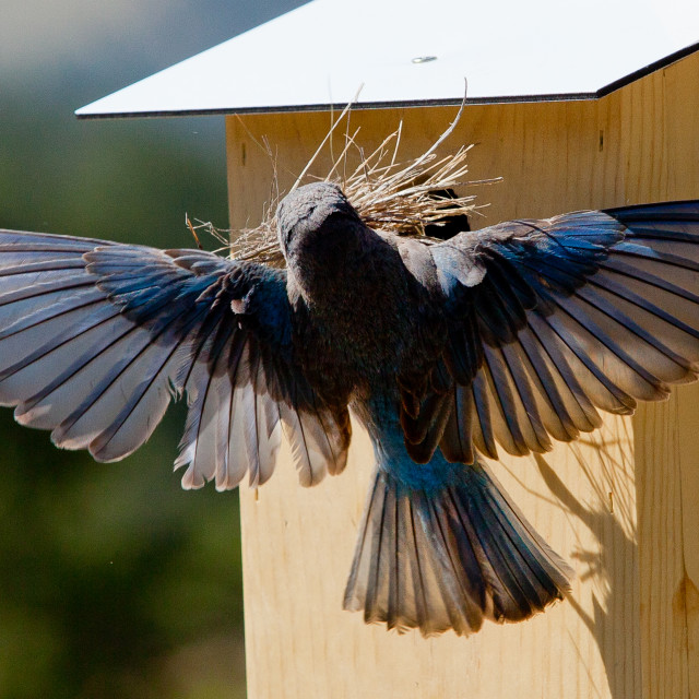 """""""Male bluebird tries to put sticks into house"""" stock image"""