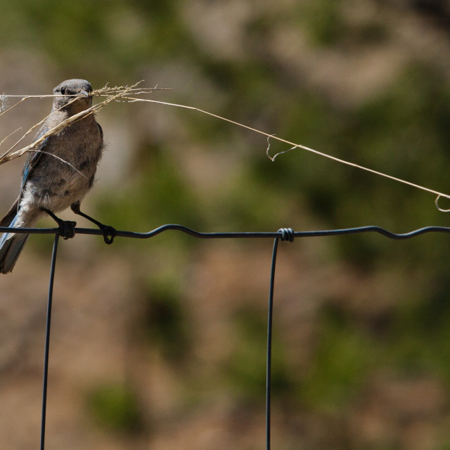 """""""Male bluebird with long twig"""" stock image"""