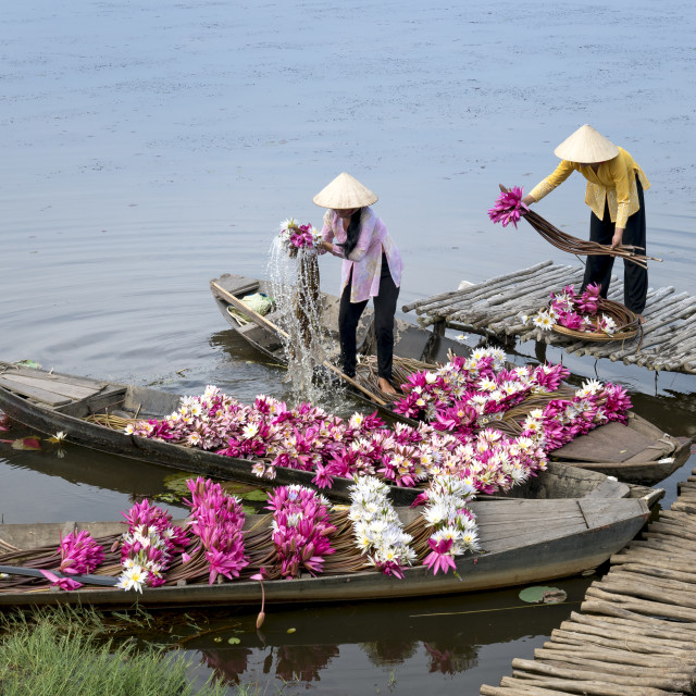 """""""rural women harvest water lily flowers by boat"""" stock image"""