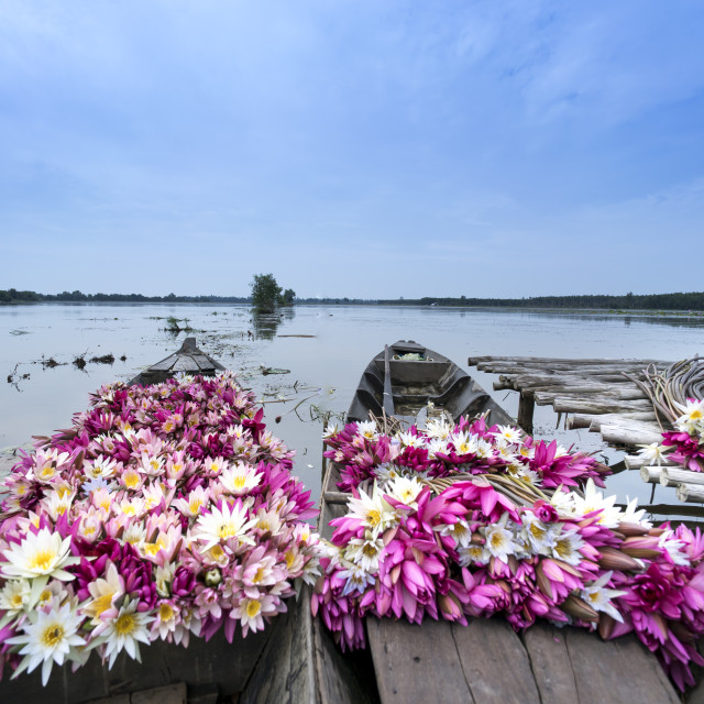 """""""harvest water lily flowers by boat"""" stock image"""