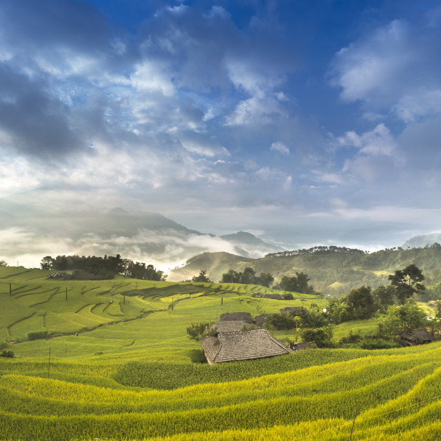 """Dawn on rice fields prepares the harvest at northwest Vietnam"" stock image"