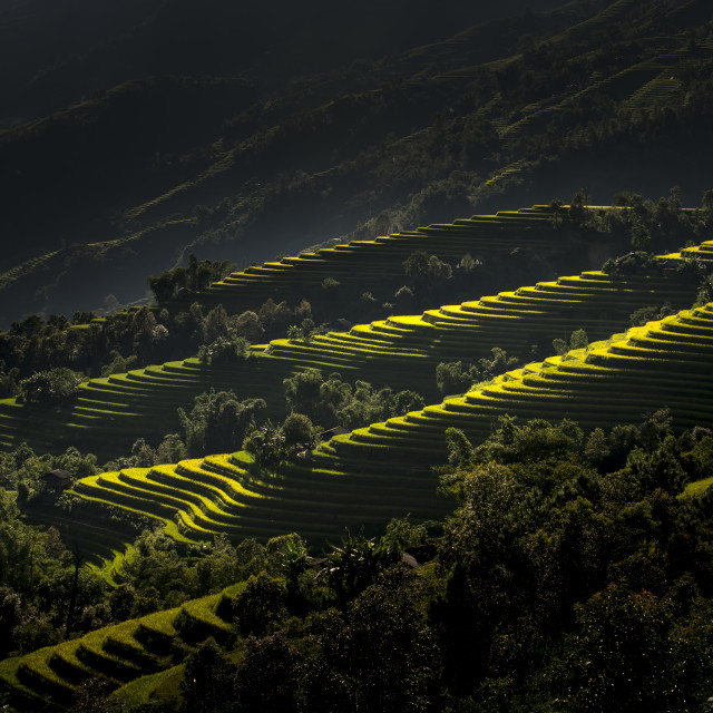 """Terrace fields rice ripe at Hoang Su Phi Town, HaGiang province, Vietnam"" stock image"