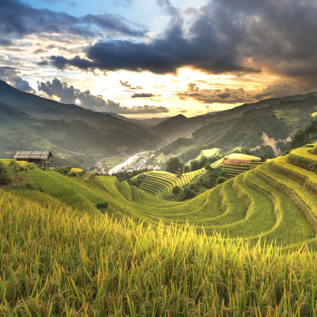 """The ripe rice landscape on terraced fields"" stock image"