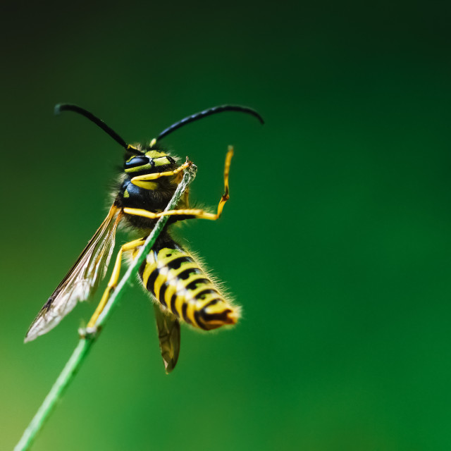 """European Common Wasp (Vespula Vulgaris) On Stick"" stock image"