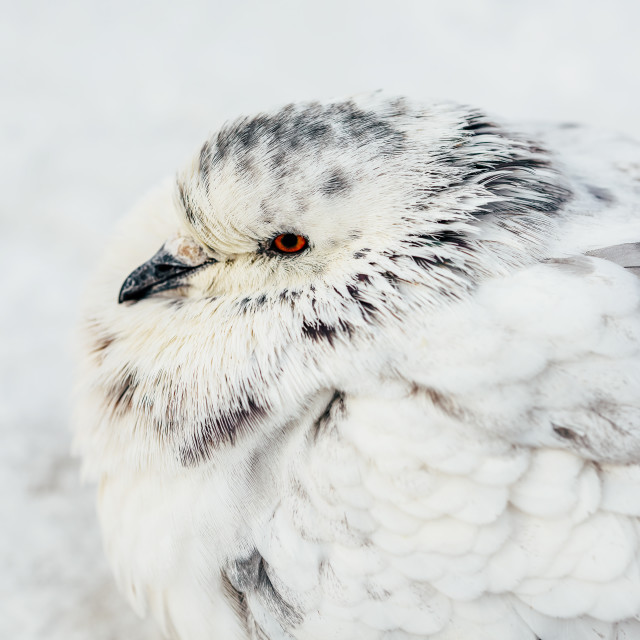 """""""White And Gray Pigeon Bird Freezing In Cold Winter Weather"""" stock image"""