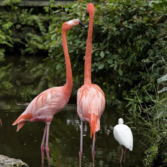 """Tall Pink Flamingos"" stock image"