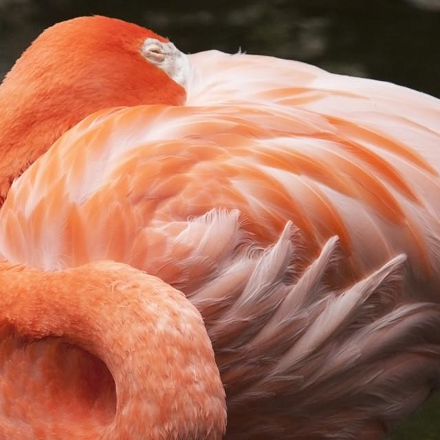"""""""Pink Flamingo Closeup"""" stock image"""