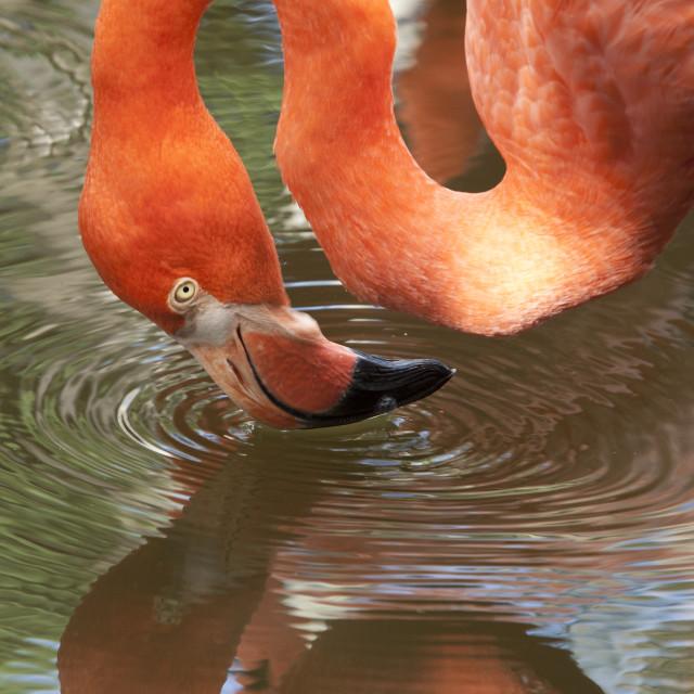 """Pink Flamingo with Reflection"" stock image"