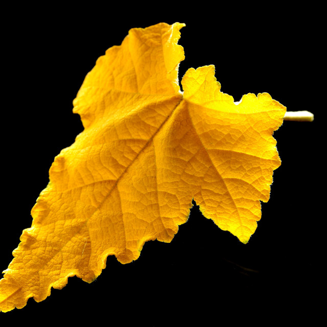 """A yellow autumn leaf"" stock image"