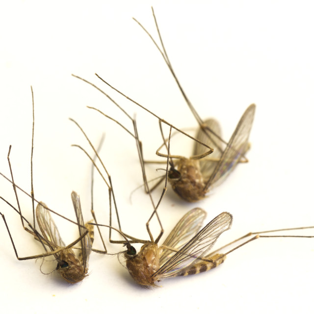"""""""Dead mosquitoes"""" stock image"""