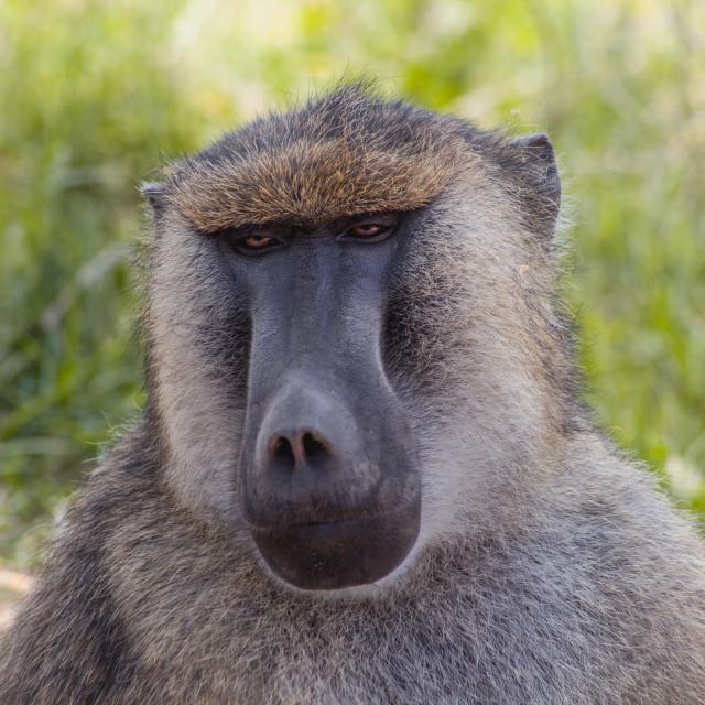 """""""Thoughtful Baboon"""" stock image"""