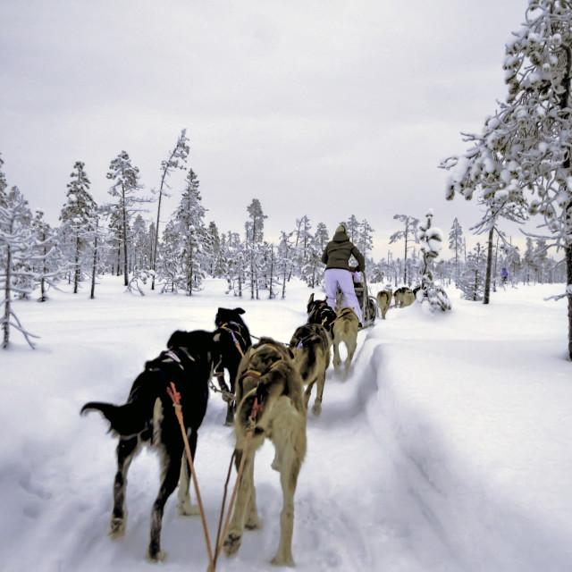 """""""Mushing through a winter wonderland"""" stock image"""