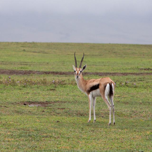 """Thomson's gazelle"" stock image"