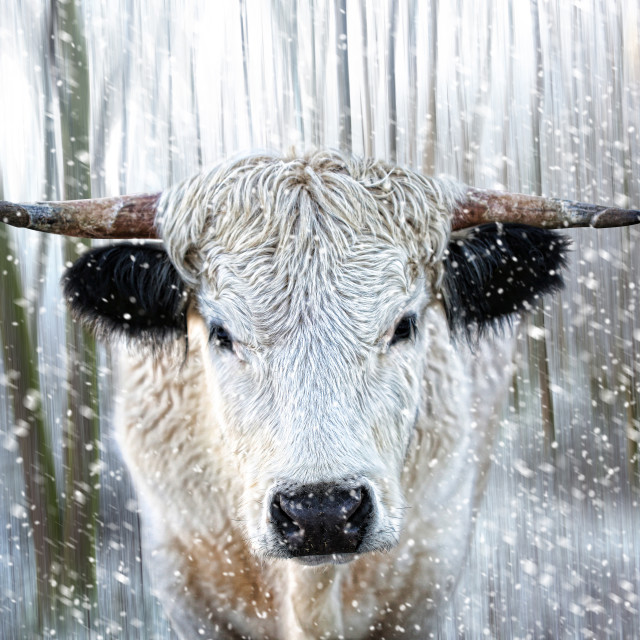 """White Park Cattle in the Snow"" stock image"