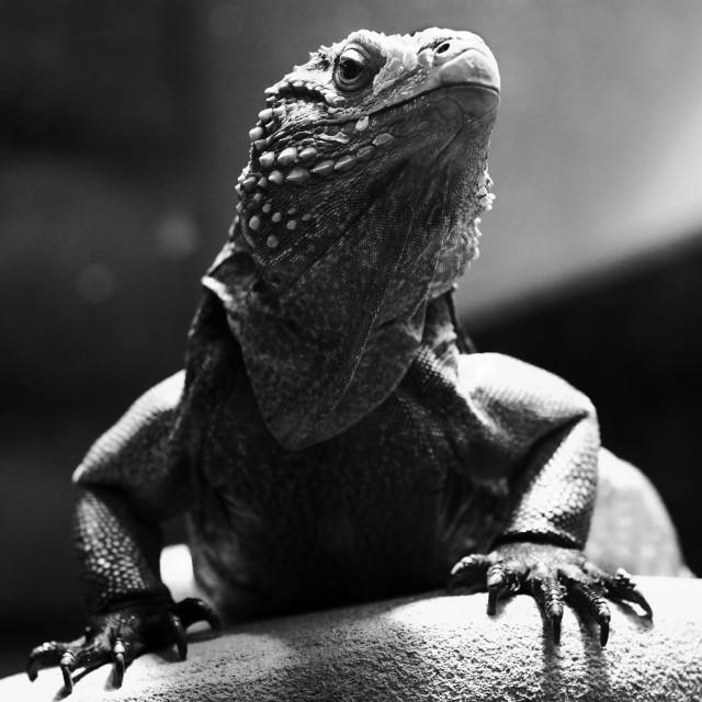 """""""Iguana, with attitude"""" stock image"""