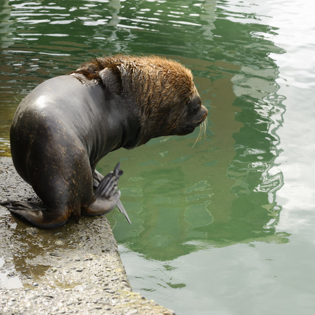 """""""Adult Male South American Sea Lion Going Into The Water At The Harbour Of Puerto Montt, Chile"""" stock image"""