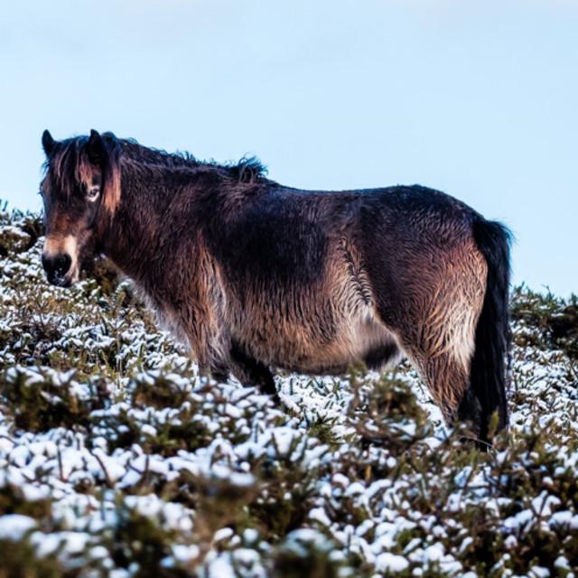 """Dartmoor Pony 2"" stock image"
