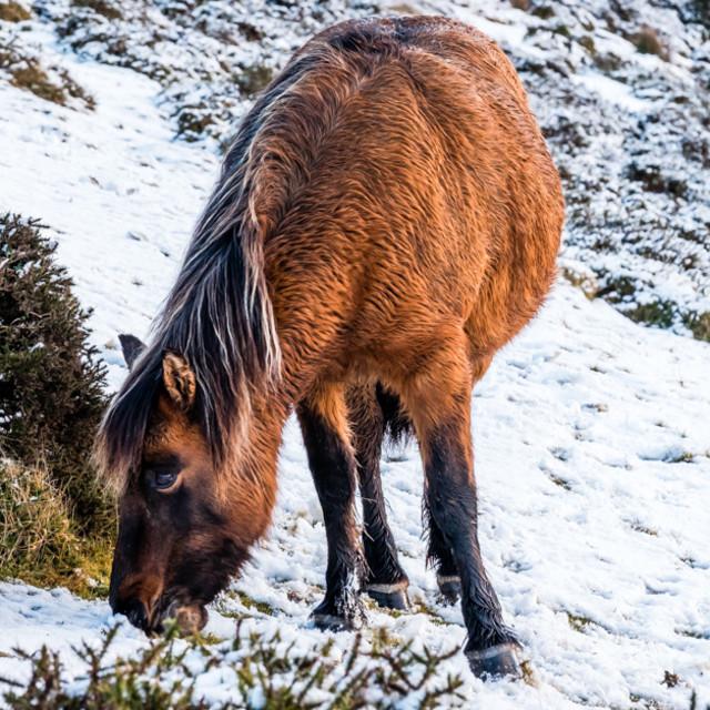 """Dartmoor Pony 4"" stock image"