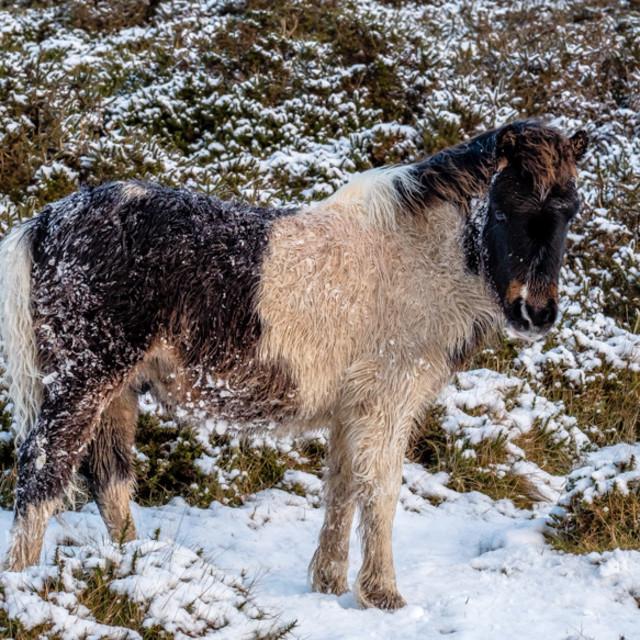 """Dartmoor Pony 5"" stock image"
