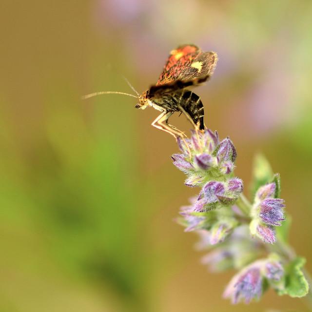 """Mint moth"" stock image"