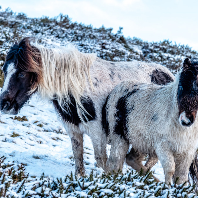 """Two Dartmoor Pony's in the Snow."" stock image"
