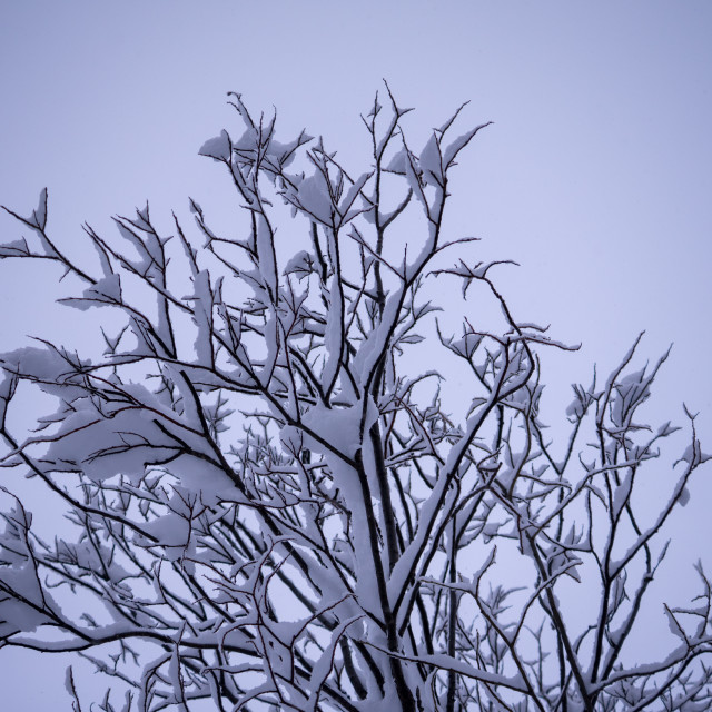 """Snow on twigs"" stock image"