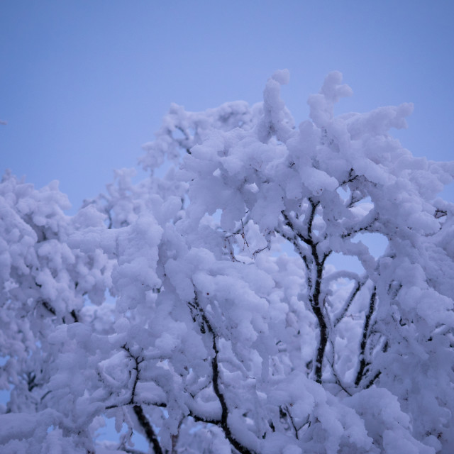 """Snow in trees"" stock image"