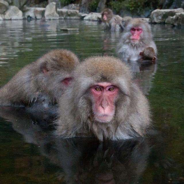 """Snow monkeys"" stock image"