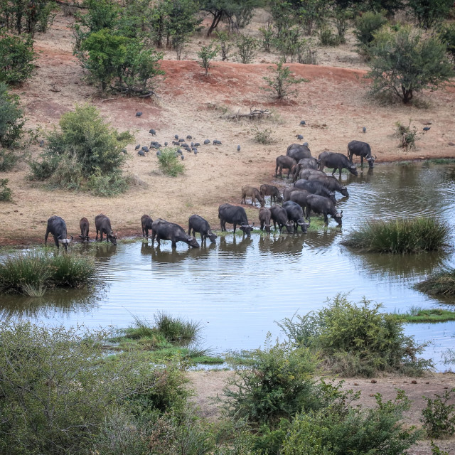 """Cape Buffalo at watering hole"" stock image"
