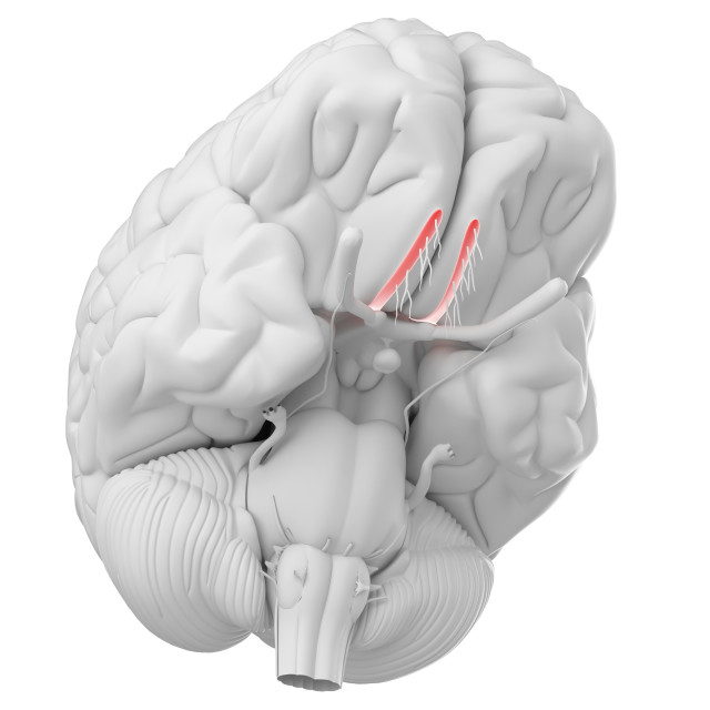 """Human brain olfactory nerve, illustration"" stock image"