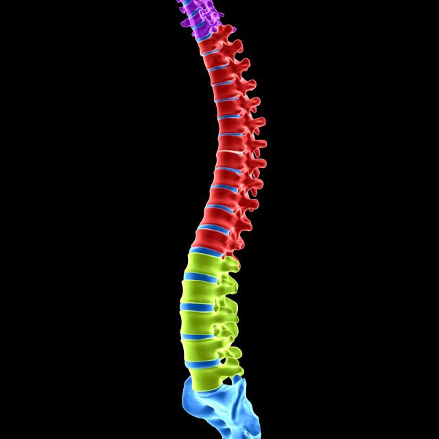 """""""Human spinal sections, illustration"""" stock image"""