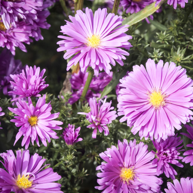 """""""Aster"""" stock image"""