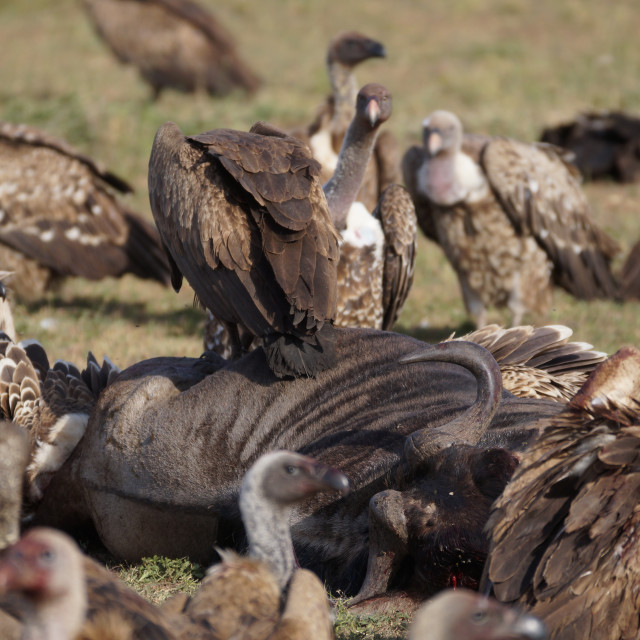 """""""Vulture Meal Time"""" stock image"""