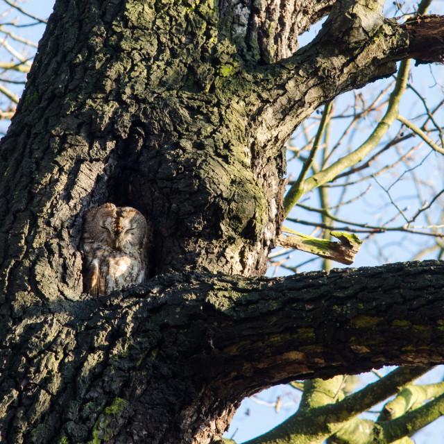 """""""Sleepy Owl"""" stock image"""