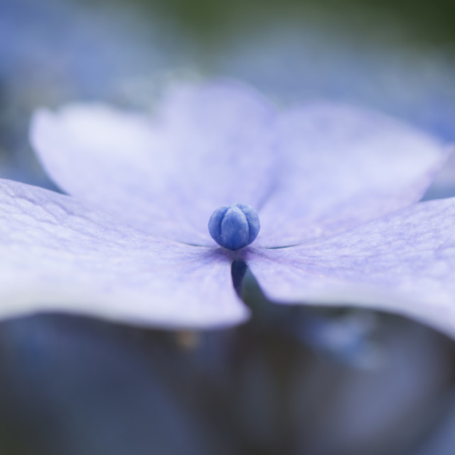 """Macro Photo of Hydrangea"" stock image"