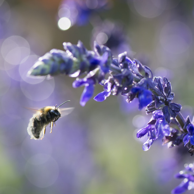 """Bumblebee Flying to Lavender"" stock image"