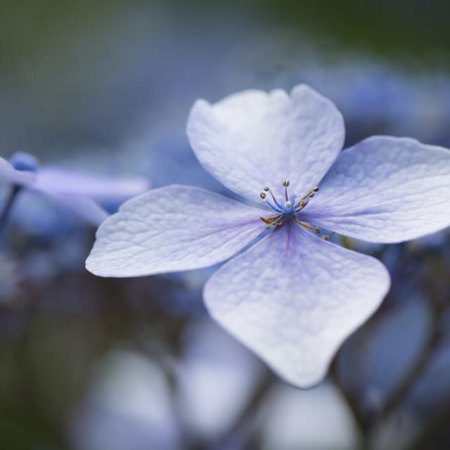 """Hydrangea Flowers"" stock image"