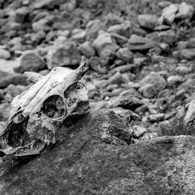 """Abandoned skull lying on rock after the winter"" stock image"