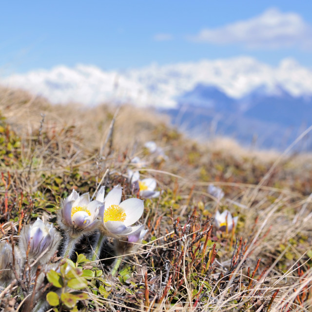 """""""pretty wild anemone in meadow"""" stock image"""