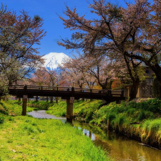 """cherry blossom at Oshino Hakkai village"" stock image"
